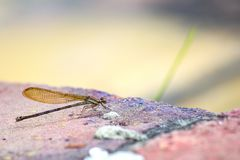 Golden damselfly sitting on a red brick stock photography