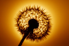 Golden dandelion Stock Image