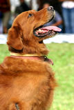 Golden dark retriever Stock Photography