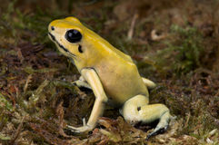 Golden dart frog. Phyllobates terribilis aka the golden dart frog is the most venomous vertebrate known on this planet today. Its skin contains around 1 Stock Photo