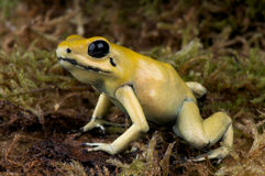 Golden dart frog. Phyllobates terribilis aka the golden dart frog is the most venomous vertebrate known on this planet today. Its skin contains around 1 Royalty Free Stock Image