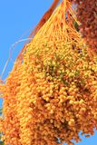 Golden Dates - Food from the Desert, for all to enjoy Stock Photo
