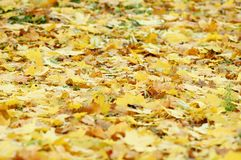 Golden deciduous litter from mix of fallen autumn maple and platanus leaves. Autumn background Stock Photography