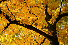 Golden Deciduous Tree Royalty Free Stock Photography