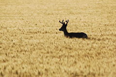 Golden Deer. Whitetail buck walking in a golden field of wheat Royalty Free Stock Images