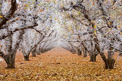 Free Golden Delicious Apple Orchard With Hoarfrost On The Branches And Leaves Royalty Free Stock Image - 166340276