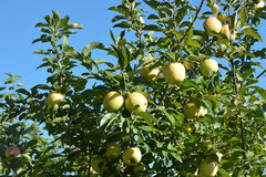 Golden Delicious Apple Tree royalty free stock image