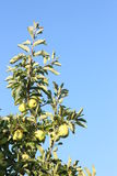 Golden delicious apples. In a tree, ready to harvest Stock Image