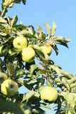 Golden delicious apples. Sweet golden delicious apples in a tree Stock Photography