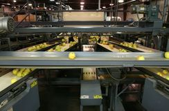 Free Golden Delicious Apples On Conveyor Belts In A Packing Warehouse Royalty Free Stock Photos - 136835328