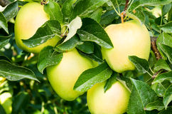 Golden Delicious apples on the tree Royalty Free Stock Images