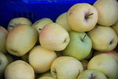 Yellow apples, the golden delicius. The Golden Delicious is a cultivar of apple with a yellow color, not closely related to the Red Delicious apple Royalty Free Stock Photos