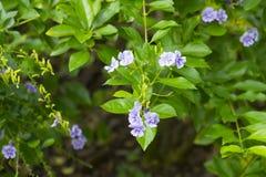 Golden Dew Drop, The flowers are light-blue or lavender color. Golden Dew Drop, Pigeon Berry, Sky Flower Duranta erecta , The flowers are light-blue or lavender stock photo