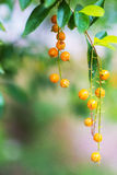 Golden dewdrop, Duranta erecta . Stock Image