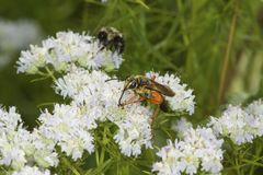 Golden digger wasp foraging for nectar on mountain mint flowers. Royalty Free Stock Photography