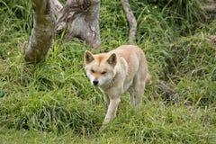 Golden dingo Stock Image