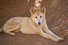 Golden dingo Stock Images