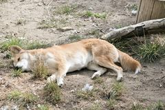 The golden dingo is resting. On the grass stock photos