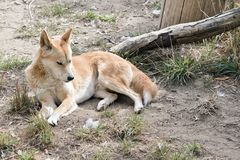The golden dingo is resting. On the grass stock images