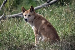 The golden dingo is resting. The golden dingo is sitting in the tall grass resting stock image