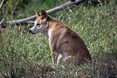 The golden dingo is resting. The golden dingo is sitting in the tall grass resting royalty free stock photo