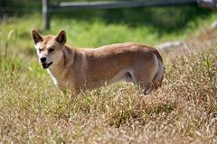 A golden dingo. This is a side view of a golden dingo royalty free stock photography
