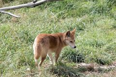 The golden dingo walking in the grass. The golden dingo has a bushy tail. he is walking in the tall grass stock images