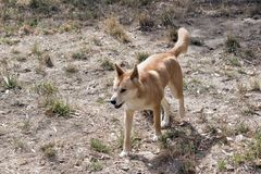 The golden dingo walking in the grass. The golden dingo has a bushy tail. he is walking in the tall grass royalty free stock photos