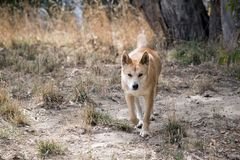 The golden dingo walking in the grass. The golden dingo has a bushy tail. he is walking in the tall grass stock image