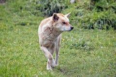 Golden dingo Stock Photo