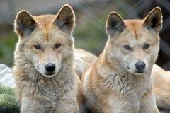 Golden dingos Stock Images