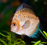 Golden Discus Fish Stock Image