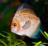 Golden Discus Fish. In the aquarium stock image