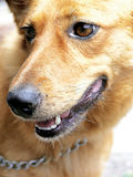 Golden dog. Jenna the golden dog Stock Photos