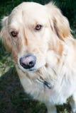 Golden dog Stock Photo
