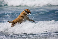 Golden Dog. Dog jumping over waves in the ocean Stock Image