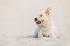 Golden dog at the beach. Cute golden dog laying at the beach on a sunny day royalty free stock photo