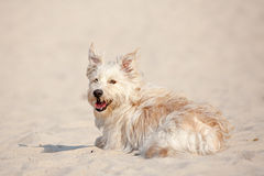 Golden dog at the beach Royalty Free Stock Photo