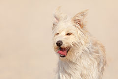 Golden dog at the beach Royalty Free Stock Image