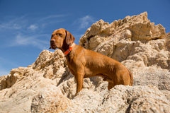 Golden dog with cliff in background Stock Images
