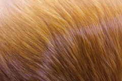Golden dog fur. Royalty Free Stock Images