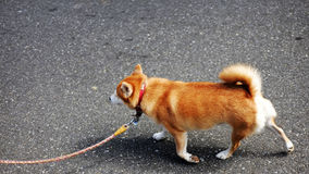 Golden dog in japan. Image of golden dog in japan Stock Photo