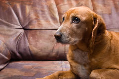 Golden dog laying on the couch Stock Photos