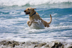 Golden Dog and Ocean. Dog having a great time in the ocean Royalty Free Stock Image