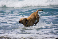 Golden Dog and Ocean. Dog having a great time in the ocean stock photography