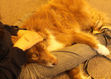 Golden Dog on Owner's Lap Royalty Free Stock Photo