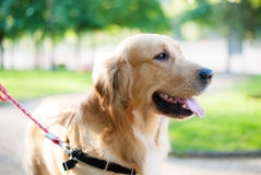 Golden dog portrait Stock Photos