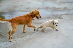 Golden dog and puppy running and playing stock image