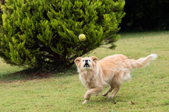 Golden dog running with ball Stock Photos