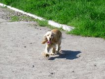 Golden dog running on the road of the summer Park stock image